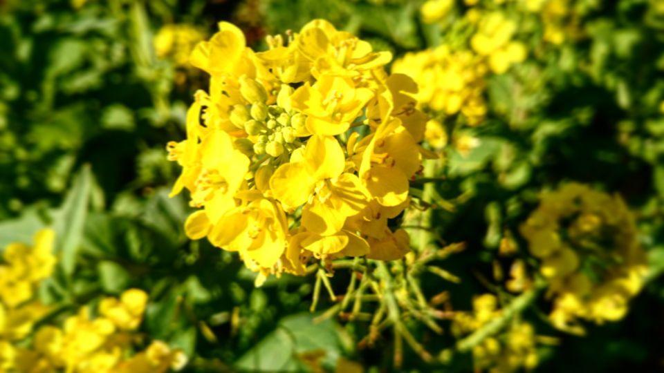 伊豆下田の菜の花 その1