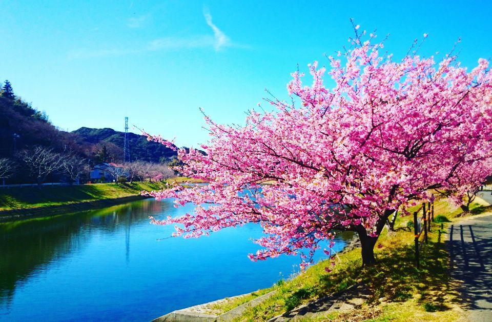伊豆下田の桜 その1