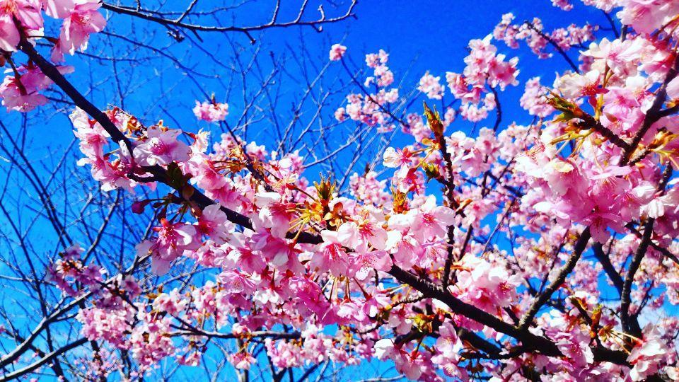 伊豆下田の桜 その2