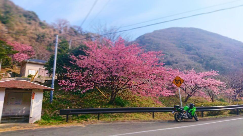 Ninja 650と桜